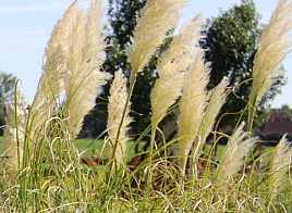 Cortaderia selloana 'Sunnigdale Silver' Pampasgras