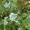 Corydalis flexuosa 'Pere David', Lerchensporn