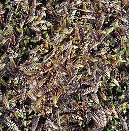 Cotula squalida 'Platt's Black'  Fiederpolster  (Leptinella)