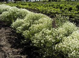 Crambe cordifolia, Meerkohl, Riesenschleierkraut