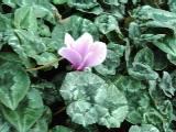 Cyclamen hederifolium 'Rosenteppich', Herbst - Alpenveilchen