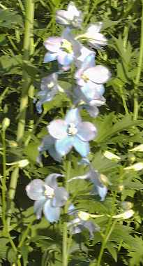 Delphinium elatum 'Berghimmel' Rittersporn hellblau