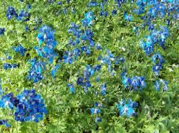 Delphinium Belladonna-Hybride 'Völkerfrieden', Rittersporn, enzianblau