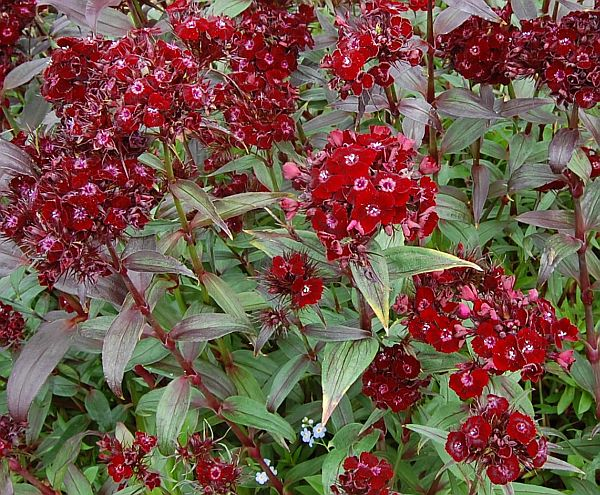 Dianthus Barbatus #774 40 graines bartnelke