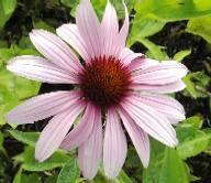 Echinacea purpurea Sonnenhut