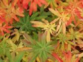 Euphorbia griffithii 'Dixter', Himalya  Wolfsmilch