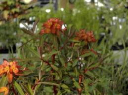 Euphorbia griffithii 'Fireglow' Himalaya Wolfsmilch