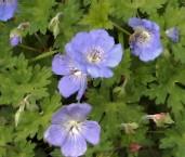 Geranium Hybride 'Jolly Bee' (Rozanne)  -R- Storchschnabel