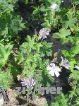 Geranium renardii 'Chantilly' , Kaukasus - Storchschnabel