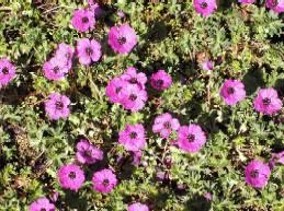 Geranium cinereum var. subcaulescens 'Splendens', grauer Storchschnabel