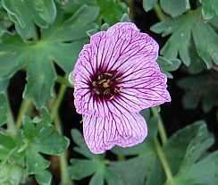 Storchschnabel, grauer, Geranium cinereum 'Ballerina'
