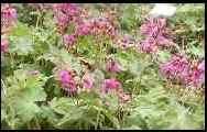 Geranium macrorrhizum 'Czakor', rotviolett, Storchschnabel