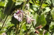 Geranium phaeum, Storchschnabel, purpurschwarz