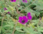 Storchschnabel, Geranium Psilostemon Hybriden 'Anne Thomson'