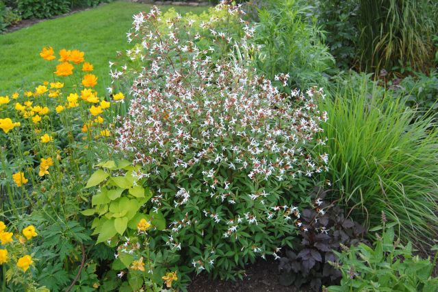 Perennial Nursery Gillenia Trifoliata Dreiblatt