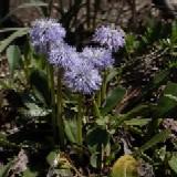 Kugelblume, Globularia cordifolia
