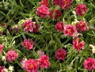 Helianthemum Hybride 'Cerise Queen', Sonnenröschen
