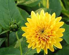 Staudensonnenblume, Helianthus decapetalus, 'Soleil d'Or'