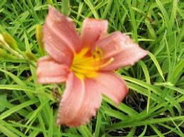 Hemerocallis-Hybriden 'Pink Damask', Taglilie
