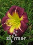 Hemerocallis-Hybriden 'Night Beacon', Taglilie