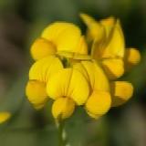 Hornklee, Lotus corniculatus