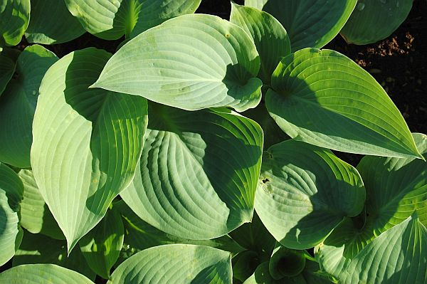 Perennial Nursery Hosta Hybride Blue Mammoth
