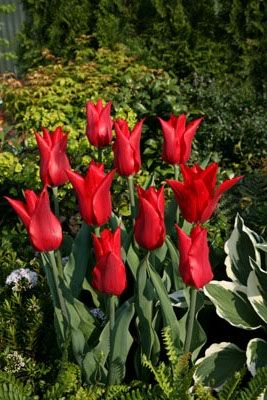 Lilienblütige Tulpen 'Pieter de Leur'