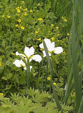 Iris sibirica 'Alba', sibirische Schwertlilie