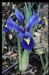 Iris reticulata Zwerg Iris