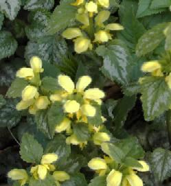 Lamiastrum galeobdolon 'Florentinum', Goldnessel