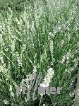 Lavandula angustifolia 'Edelweiß' Lavendel