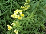 Leinkraut, Frauenflachs, Linaria vulgaris