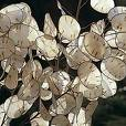 Lunaria annua, Silberblatt, Silberling