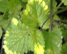Zitronenmelisse,  gelbbunte, Melissa officinalis 'Variegata'