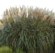 Miscanthus sinensis 'Silberspinne'  Chinaschilf