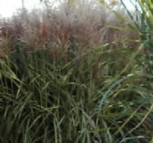 Miscanthus purpurascens Purpurchinaschilf