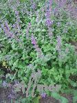 Nepeta racemosa 'Grog', zitronige Katzenminze
