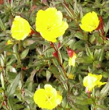Oenothera tetragona 'Fyrverkeri', Nachtkerze