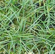 Ophiopogon japonicus Schlangenbart