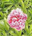 Paeonia officinalis  'Rosea Plena', Pfingstrose