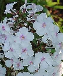 Phlox Maculata - Hybride 'Delta', Wiesenphlox