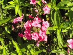 Phlox Paniculata - Hybride 'Kirschkönig', Flammenblume