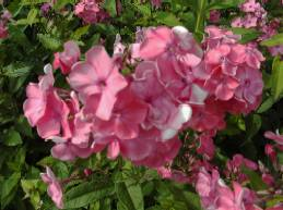Flammenblume, Phlox Paniculata - Hybride 'Rijnstrom'