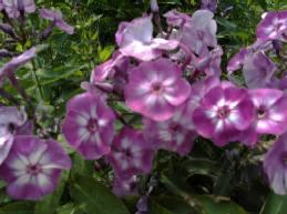 Flammenblume, Phlox Paniculata - Hybride 'Uspech'