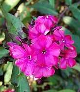 Phlox Paniculata - Hybride 'Starfire', Flammenblume