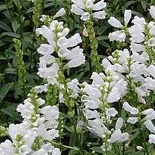 Gelenkblume, Physostegia virginiana 'Summer Snow'