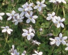Pratia pedunculata ( Isotoma, Laurentia), Blauer Bubikopf