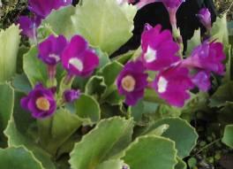Primula venusta, lila Aurikel