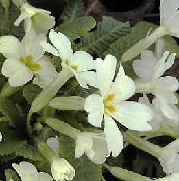 Frühlingsprimel, Primula vulgaris