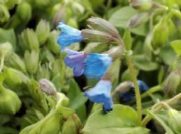 Lungenkraut, Pulmonaria angustifolia 'Azurea'